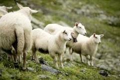 ovčetina omega3